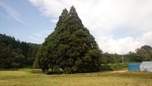 トトロの木(2015年9月撮影)