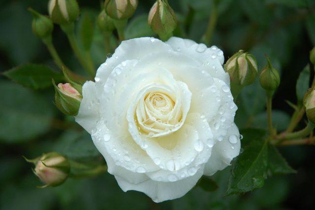 夏に咲くバラ1