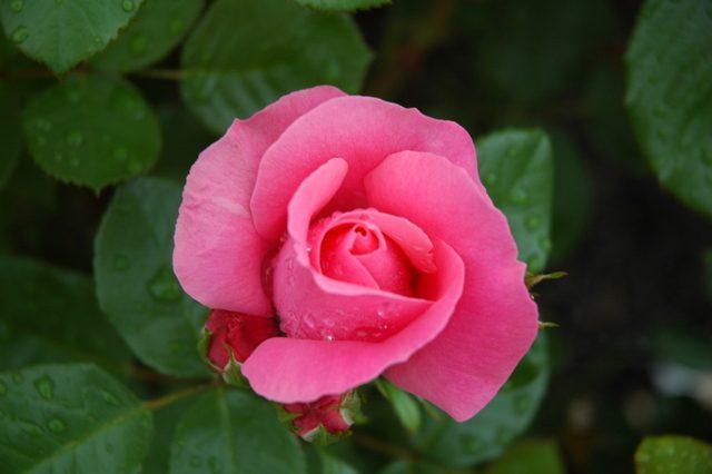 夏に咲くバラ2