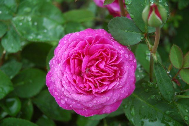 夏に咲くバラ3