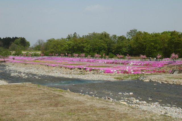 立谷川の芝桜