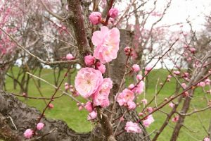 霞城公園の梅