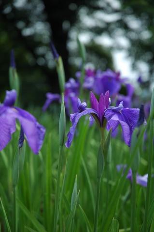 長井古種:長井古紫