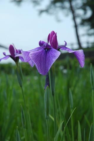 長井系:恋紫