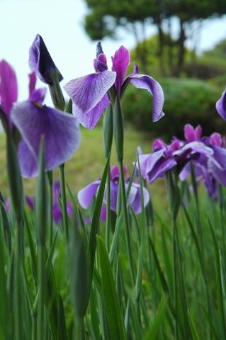 馬見丘陵公園の花菖蒲&紫陽花