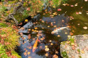 洗心庵の紅葉:風流の極みたる回遊式庭園の小宇宙を鑑賞しよう